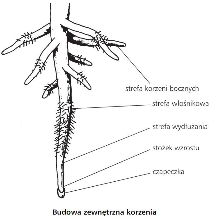 Budowa zewnętrzna korzenia