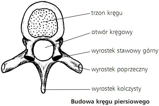 Budowa kręgu piersiowego. Trzon kręgu, otwór kręgowy, wyrostek stawowy górny, wyrostek poprzeczny, wyrostek kolczysty.