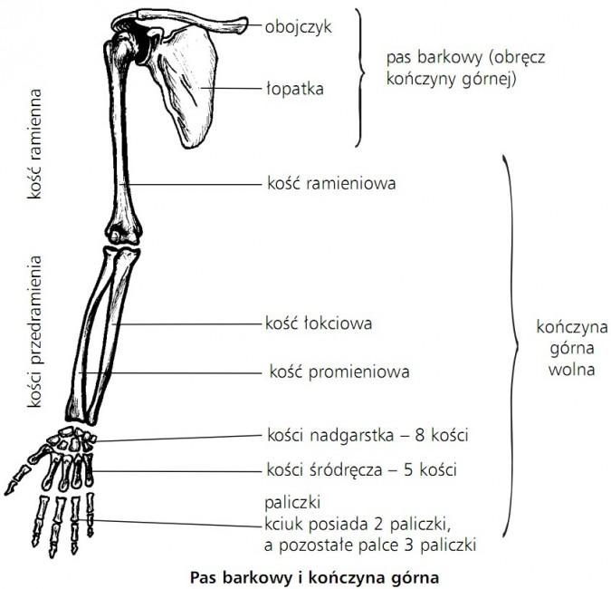 Pas barkowy i kończyna górna. Kość ramienna, kości przedramienia. Pas barkowy (obręcz kończyny górnej): obojczyk, łopatka. Kończyna górna wolna: kość ramieniowa, kość łokciowa, kość promieniowa, kości nadgarstka - 8 kości, kości śródręcza - 5 kości, paliczki (kciuk posiada 2 paliczki, a pozostałe palce 3 paliczki).
