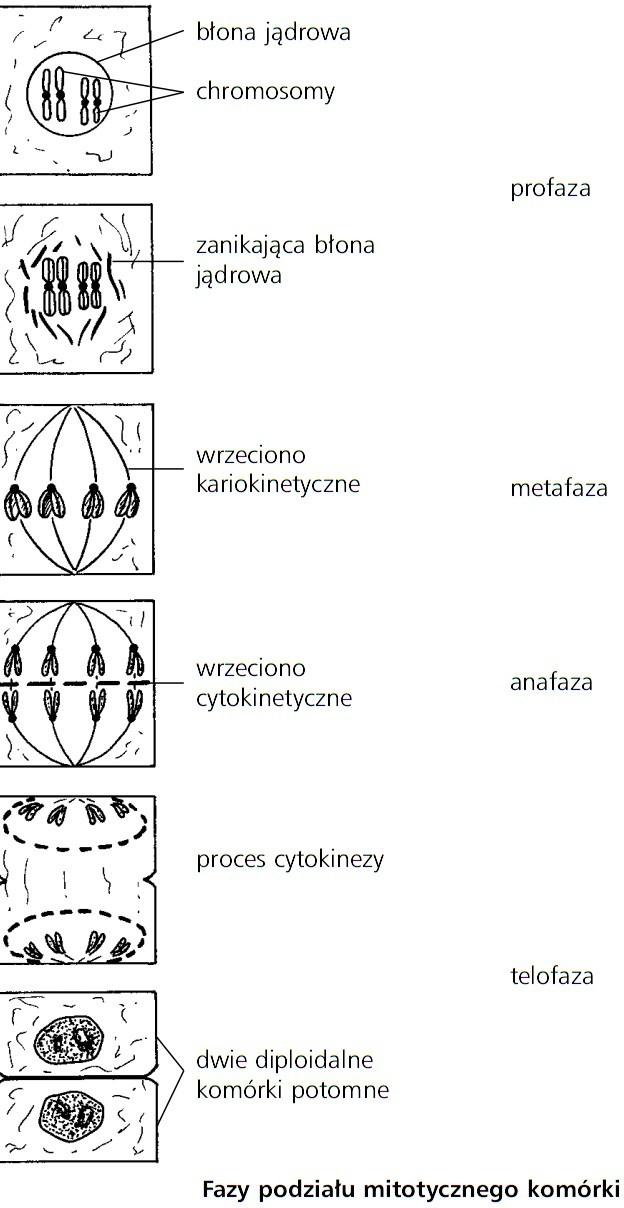 Fazy podziału mitotycznego komórki. Błona jądrowa, chromosomy, zanikająca błona jądrowa, wrzeciono kariokinetyczne, wrzeciono cytokinetyczne, proces cytokinezy, dwie diploidalne komórki potomne. Profaza, metafaza, anafaza, telofaza.