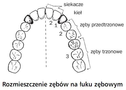 Rozmieszczenie zębów na łuku z zębowym. Siekacze, kieł, zęby przedtrzonowe, zęby trzonowe.