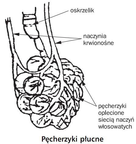 Pęcherzyki płucne. Oskrzelik, naczynia krwionośne, pęcherzyki oplecione siecią naczyń włosowatych.