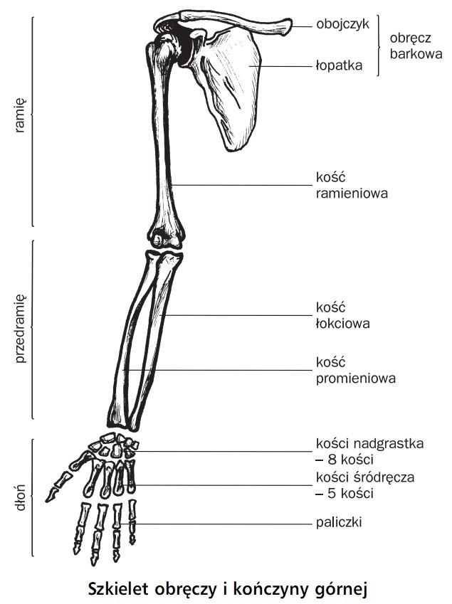Szkielet obręczy i kończyny górnej. Ramię, przedramię, dłoń. Obręcz barkowa, obojczyk, łopatka, kość ramieniowa, kość łokciowa, kość promieniowa, kości nadgarstwka (8 kości), kości śródręcza (5 kości), paliczki.
