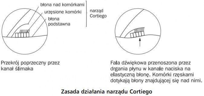 Zasada działania narządu Cortiego. Przekrój poprzeczny przez kanał ślimaka - narząd Cortiego (błona nad komórkami, urzęsione komórki, błona podstawna). Fala dźwiękowa przenoszona przez drgania płynu w kanale naciska na elastyczną błonę. Komórki rzęskami dotykają błony znajdującej się nad nimi.