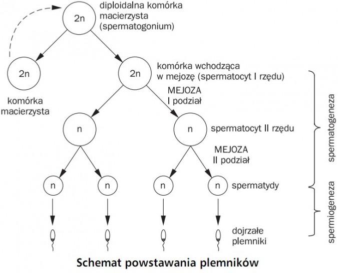 Schemat powstawania plemników. Komórka macierzysta, diploidalna komórka macierzysta (spermatogonium), komórka wchodząca w mejozę (spermatocyt I rzędu), mejoza (I podział), spermatocyt II rzędu, mejoza (II podział), spermatydy, dojrzałe plemniki. Spermatogeneza, spermiogeneza.