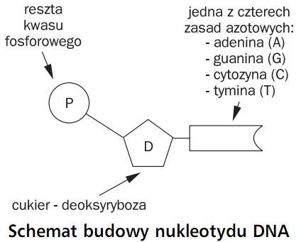 Schemat budowy nukleotydu DNA. Reszta kwasu fosforowego, jedna z czterech zasad azotowych: adenina (A), guanina (G), cytozyna (C), tymina (T), cukier - deoksyryboza.