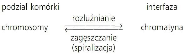 Podział komórki, interfaza, chromosomy, chromatyna, rozluźnianie, zagęszczanie (spiralizacja).