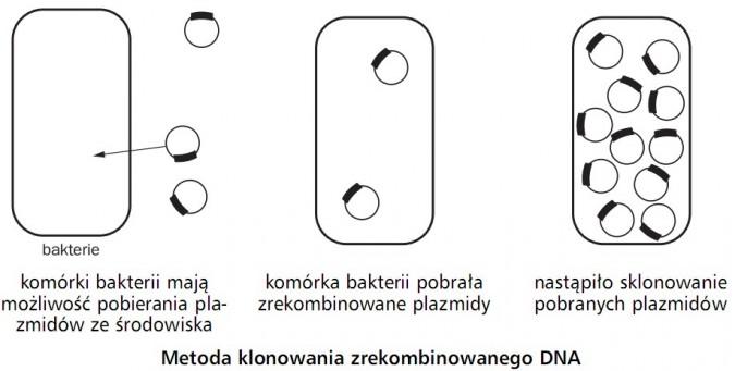 Metoda klonowania zrekombinowanego DNA. Bakterie. Komórki bakterii mają możliwość pobierania plazmidów ze środowiska. Komórka bakterii pobrała zrekombinowane plazmidy. Nastąpiło sklonowanie pobranych plazmidów.