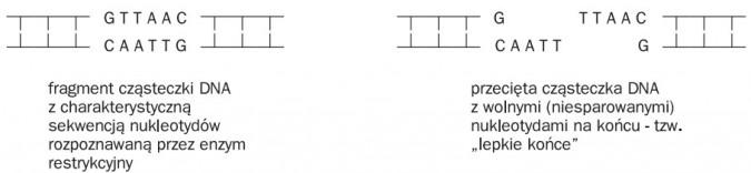 Metody przenoszenia i powielania genów. Fragment cząsteczki DNA z charakterystyczną sekwencją nukleotydów rozpoznawaną przez enzym restrykcyjny. Przecięta cząsteczka DNA z wolnymi (niesparowanymi) nukleotydami na końcu - tzw. lepkie końce.