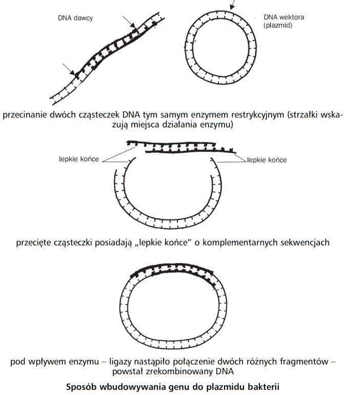 Sposób wbudowywania genu do plazmidu bakterii. DNA dawcy, DNA wektora (plazmid), lepkie końce. Przecinanie dwóch cząsteczek DNA tym samym enzymem restrykcyjnym (strzałki wskazują miejsca działania enzymu), przecięte cząsteczki posiadają lepkie końce o komplementarnych sekwencjach. Pod wpływem enzymu - ligazy nastąpiło połączenie dwóch różnych fragmentów - powstał zrekombinowany DNA.